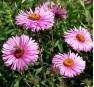 Aster novae-angliae Barrs Pink (Барсс Пинк)