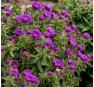 Aster novae-angliae Purple Dome (Парпл Дом)