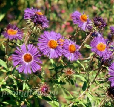 Aster novae-angliae Violetta (Виолетта)