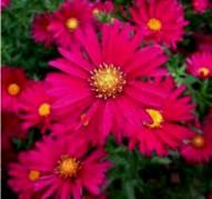 Aster novi-belgii Crimson Brocade (Кримсон Брокейд)