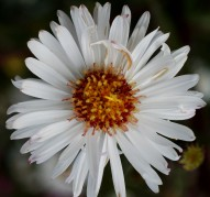 Aster novi-belgii White Lady (Уайт Леди)
