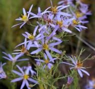 Aster sedifolius `Nanus' (Астра очитколистная Нанус)