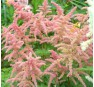 Astilbe Bresingham Beauty (Брезингхэм Бьюти)