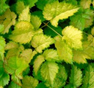 Astilbe Color Flash Lime (Колор Флеш Лайм)