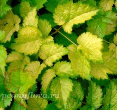 Astilbe Color Flash Lime (Колор Флеш Лайм)