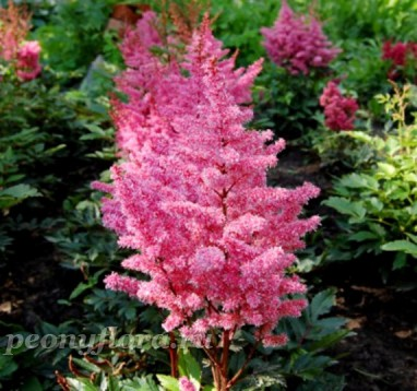Astilbe Dance and Trance (Данс энд Транс)