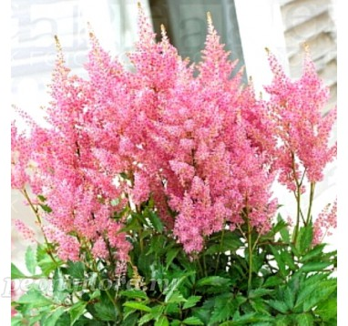 Astilbe Darvins Dream (Дарвинс Дрим)