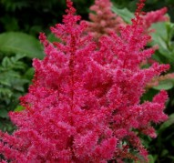 Astilbe Jamp and Jive (Джамп энд Джайв)