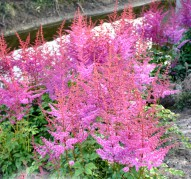 Astilbe Mighty Joe (Майти Джо)