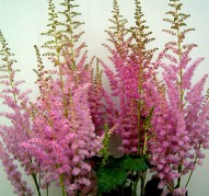Astilbe Mighty Phill (Майти Филл)