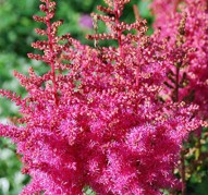 Astilbe Rise and Shine (Райз энд Шайн)