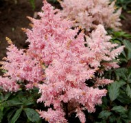 Astilbe Sugarberry (Шугаберри)