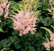 Astilbe Tiny Diamond (Тайни Дайэмонд)