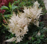 Astilbe White Whings (Уайт Уингс)