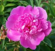 Пион Bouquet Perfect (Букет Перфект)