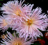 Хризантема Жемчужинка