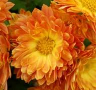 Хризантема Колобок