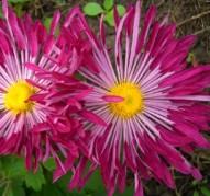 Хризантема Лучистая