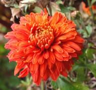 Хризантема Пектораль