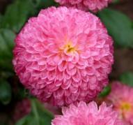 Хризантема Помпонная Розовая