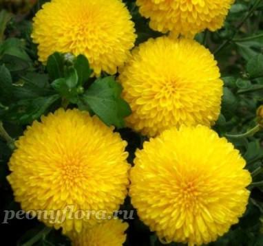 Хризантема Помпонная Желтая