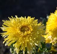 Хризантема Солнышко