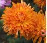 Хризантема Золотой Апельсин