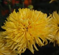 Хризантема Золотоволоска