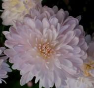 Хризантема Яблони Цвет