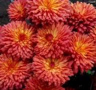 Хризантема Цвет Папоротника