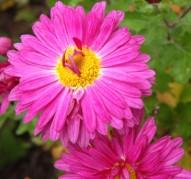 Хризантема Звездопад