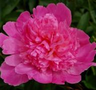 Пион Coral Pink (Корал Пинк)