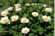 Пион  Early Daybreak, межвидовый гибрид, триплоид, очень ранний срок цветения - конец мая, начало июня