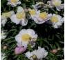 Пион Garden Lace (Гарден Лейс)