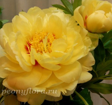 Пион Garden Treasure (Гарден Треже)