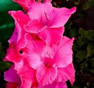 Гладиолус 'Пинк Эвент' ('Pink Event')
