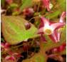 Горянка рубрум (rubrum)
