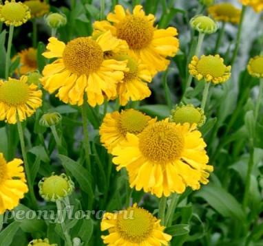 Гелениум Пумилум  Магнификум (autumnale Pumilum Magnificum)