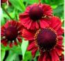 Гелениум Ред Джевел (Red Jewel)