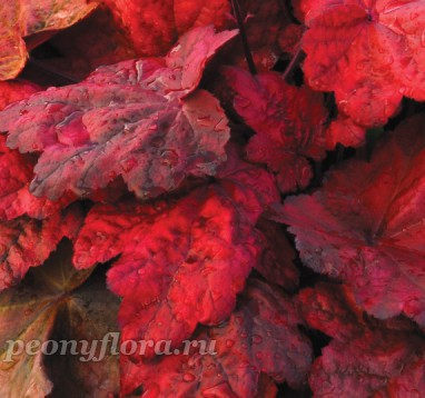 Heuchera Autumn Leaves (Аутумн Ливес)