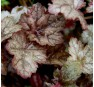 Heuchera Color Dream (Колор Дрим)