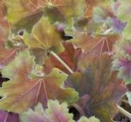 Heuchera Knock Out (Нокаут)
