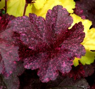 Heuchera Midnight Rose (Миднайт Роз)