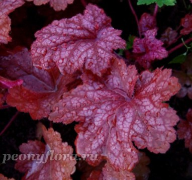 Heuchera Sparkling Burgundy (Спарклинг Бургунди)