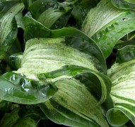 Hosta Allegan Fog (Аллеган Фог),