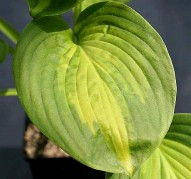 Hosta Avocado (Хоста Авокадо)