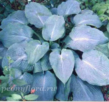 Hosta Blue Angel (Хоста Блю Энжел)