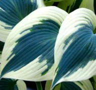 Hosta Blue Ivory (Хоста Блю Айвори)