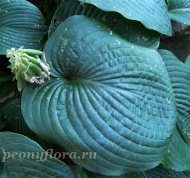 Hosta Blue Mammoth (Хоста Блю Мамут)