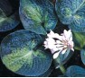 Hosta Blue Shadows (Хоста Блю Шадоуз)
